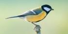 Suomen lintujen latinankieliset nimet